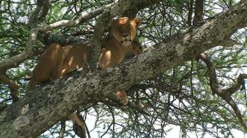 Lioness resting in a tree at the Serengetin national park