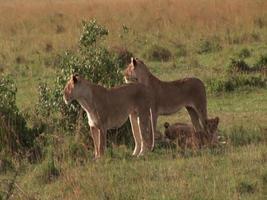 Löwin Familie