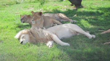 león durmiendo junto a la sombra de un árbol video