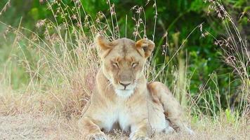 Lioness falling asleep in the grass, Masai Mara video
