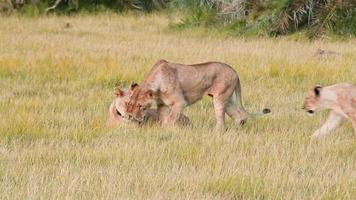 Lionesses, Kenya
