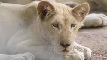 Schließen Sie einen jungen weißen Löwen.
