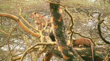 Lion on a tree, Nakuru Park video