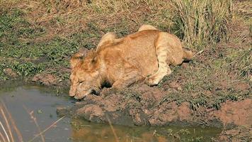 junger männlicher Löwe in Masai Mara video