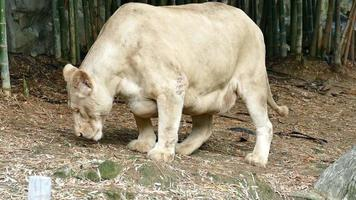 female lion walking and smelling soil