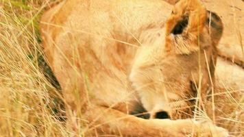 Lioness licking its paw, Masai Mara video