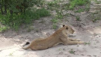 León salvaje peligroso mamífero África sabana Kenia