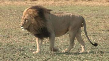 magnífico leão macho caminhando pelas planícies video