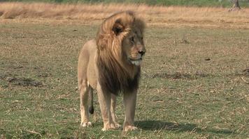 prächtiger männlicher Löwe, der steht und sich umschaut