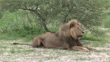 León salvaje peligroso mamífero África sabana Kenia video