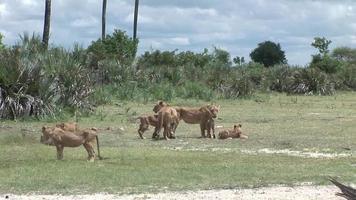 leão selvagem perigoso mamífero áfrica savana quênia