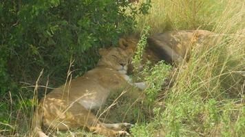 Lions sleeping under the tree in Africa