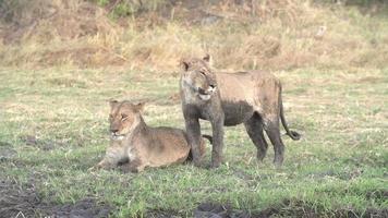 duas leoas cobertas de lama se socializando video