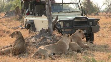 turistas em veículo safári olhando o orgulho do leão, botsuana video