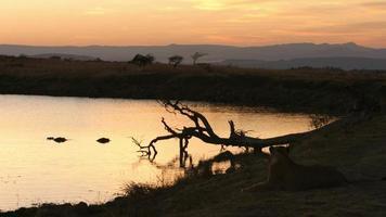 León e hipopótamo al amanecer. video