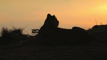 Lion in early morning silhouetted