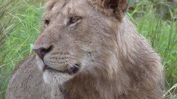 Male Lion in the bush