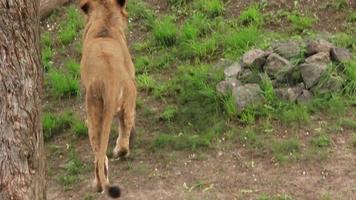 Aggressive lionesses video
