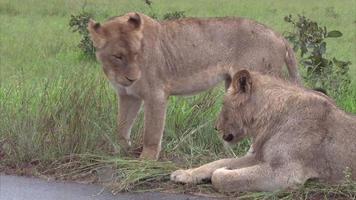 leone maschio e femmina nella boscaglia video