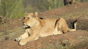 Close up of beautiful Young Lioness lazing in the sun