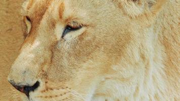 leonessa ultra close-up