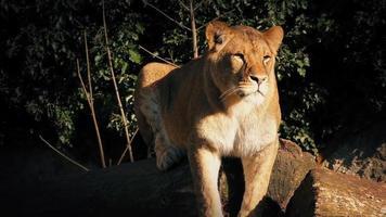 Lionne repose sur se connecter au soleil du soir