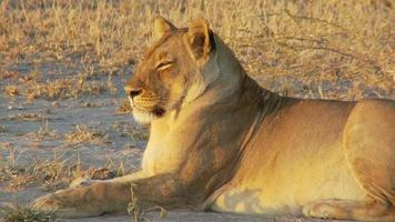 Lioness at rest video
