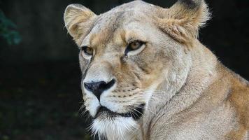 gros plan, portrait, de, lionne africaine, lion femelle