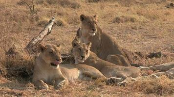 grupo de fêmeas de leoa esfregando a cabeça e se socializando
