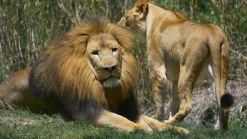 leone rilassante nell'erba verde accanto alla leonessa video