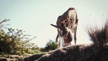 burro comendo grama em clima árido