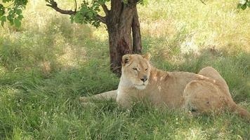 leonessa che riposa all'ombra