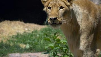 Lioness looks up at meat being tossed