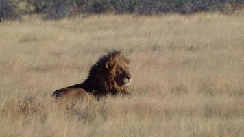 Male lion lick tongue and zebras show up at Etosha Namiba Africa video