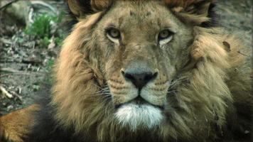Zeitlupe mit einem Löwen auf einem Baumstamm ruhen video
