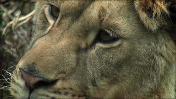rallentatore con un leone su un tronco d'albero che riposa