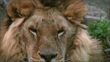câmera lenta com um leão em um tronco de árvore descansando