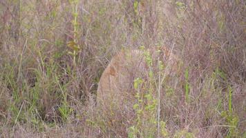 Löwin geht im hohen Gras