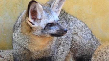 zorro de orejas de murciélago