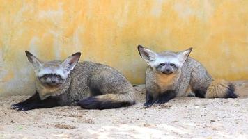 cuccioli di volpe dalle orecchie di pipistrello video