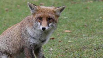 volpe rossa mangiare nel parco nazionale d'Abruzzo in Italia video