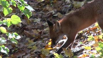 volpe rossa nella foresta