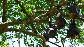 pipistrelli della frutta appesi a testa in giù. video