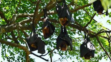 pipistrelli della frutta appesi a testa in giù video
