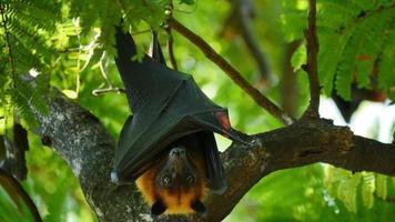 murciélagos frugívoros colgando boca abajo