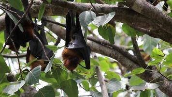 pipistrelli della frutta appesi a testa in giù