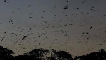zorros voladores (murciélagos frugívoros) llenan el cielo al anochecer