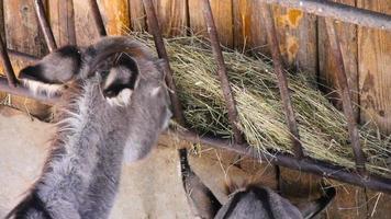 Donkey grazing video