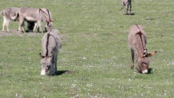 burros no pasto video