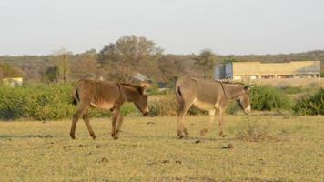 burros en africa